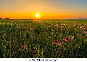 Sunset in a Prairie Field of Purple Coneflowers