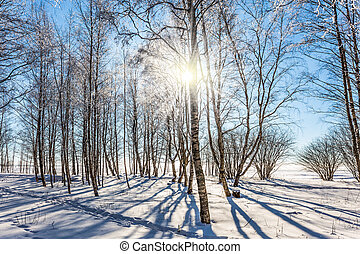 Sunset. Transparent cold air in aspen grove. Winter frosty day in Lapland. The concept of extreme and ecotourism