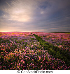 Sunset in lilac flowers