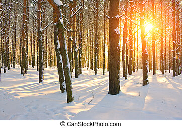 Sunset in pine forest. Winter season