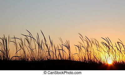 Sunset in prairie - Silhouettes of plants at sunset in...