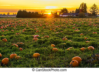 Sunset in Pumpkin Patch - Pumpkin Patch with sunset in...