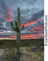 Sunset in Saguaro National Park Tucson - Saguaro cacti stand...