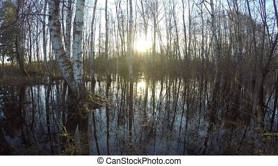 Sunset in spring birch forest, time lapse - Sunset in spring...