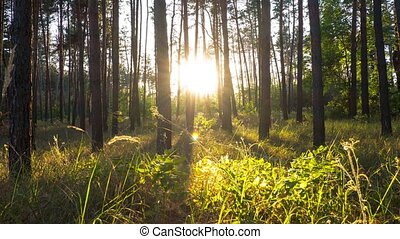 Sunset in the Beautiful Pine Forest. Time Lapse. Rays of Orange Sun moving in the Wood through the Branches of Trees. Summer Forest at Sundown. Real calm nature background in the rays of red sun.