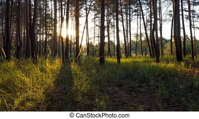 Sunset in the Forest through the Trees. Timelapse. Moving...