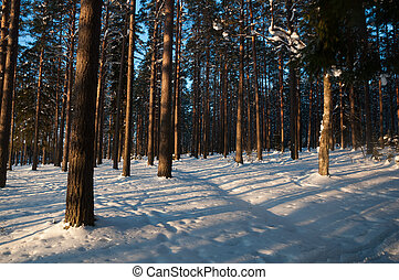 Sunset in the winter forest. Sunbeams and shadows of trees.