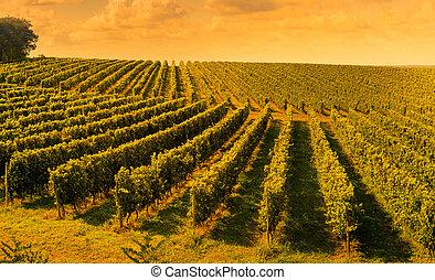 Sunset landscape bordeaux wineyard france, europe