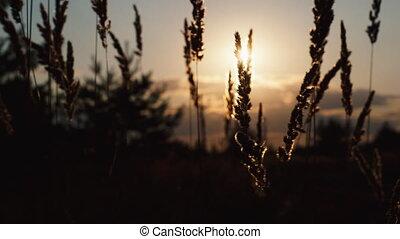 sunset light with grass flower