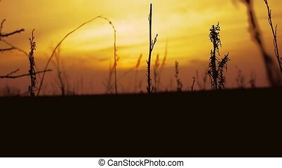 sunset nature dry grass - dry grass sunset silhouette on...
