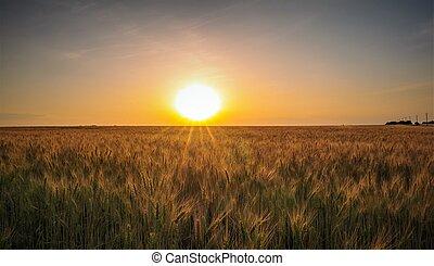 Sunset on a flourishing wheat field