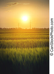 Sunset on a green wheat field with power lines