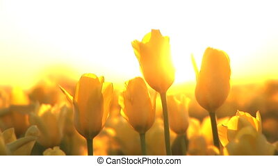 Sunset on a Tulip Field - Backlit tulips at sunset, Tulip...