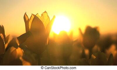 Sunset on a Tulip Field