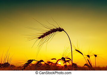 sunset on field. silhouette of barley