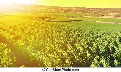 Sunset on fields - Warm sunset aerial view of rows of grapes...