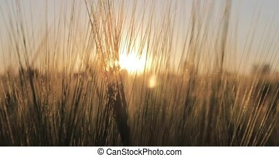 Sunset on the barley field