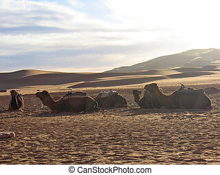 Sunset on the dunes laying camels on the sand, Erg Chebbi, Merzouga, Morocco