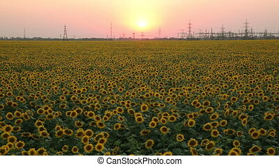 Sunset on The Field With Sunflowers. Timelapse