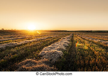 Sunset on wheat field with corn straw