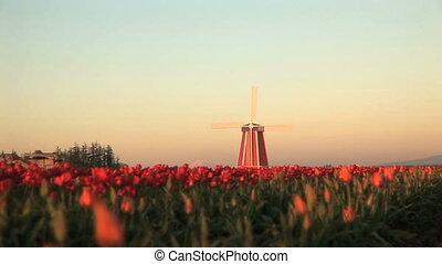 Sunset on Windmill in Tulip Field