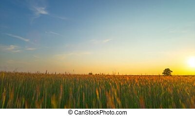 Sunset over a field of rye, panoramic time-lapse