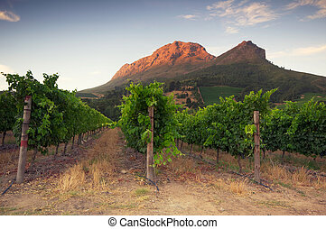Sunset over a vineyard with Table Mountain in the background, Stellenbosch, Cape Winelands, Western Cape, South Africa