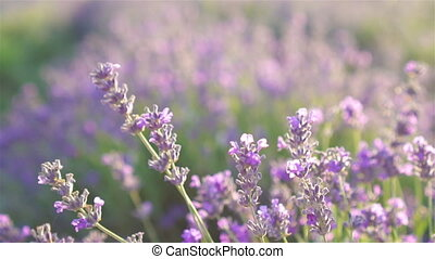 Violet lavender in the field on the sunset