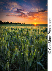 Sunset over a wheat field - The sun sets over a green and ...