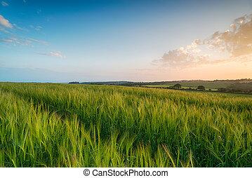 Sunset over Barley Fields