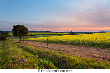 Sunset over Canola Farm agricultural fields