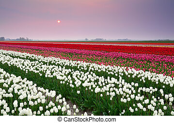 sunset over colorful tulip field