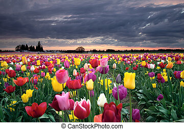 Sunset over Colorful Tulip Flowers