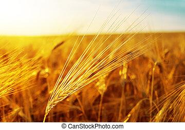 sunset over golden field