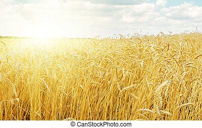sunset over golden harvest field