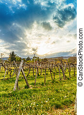 Sunset over grape vineyard