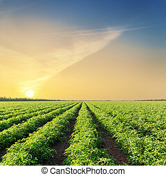 sunset over green agriculture field with tomatoes