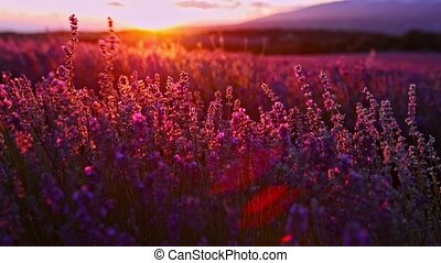 Sunset over lavender fields in Provence in France - The...