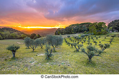 Sunset over olive grove