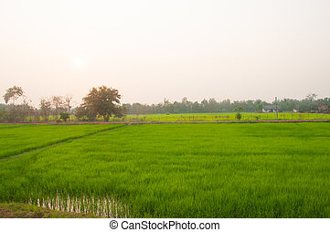 Sunset over rice field