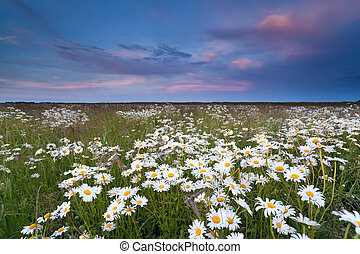 sunset over summer wildflower field