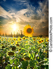 Sunset over sunflowers - Field of blossoming sunflowers and ...