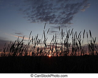 Sunset over the wheat fields.