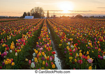 Sunset over Tulip Fields