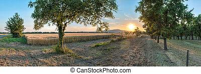sunset over wheat field