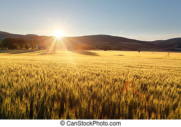 Sunset over wheat field.