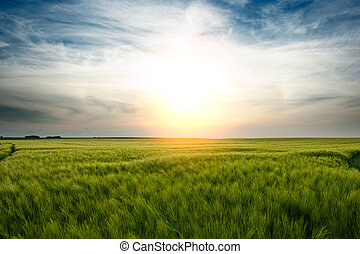 Sunset over green wheat field