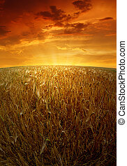 wheat fields  - sunset over wheat fields