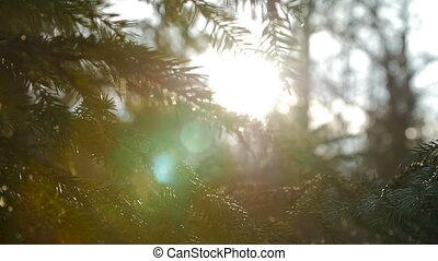 Sunset panoramic view of magical forest scene with play of sun through pine branch.