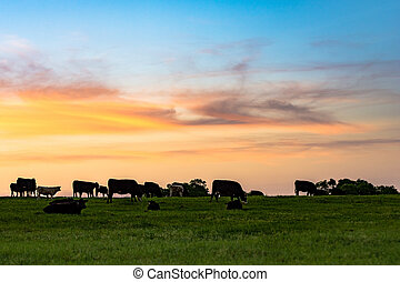Background of cattle on a pasture at dusk with colorful sky